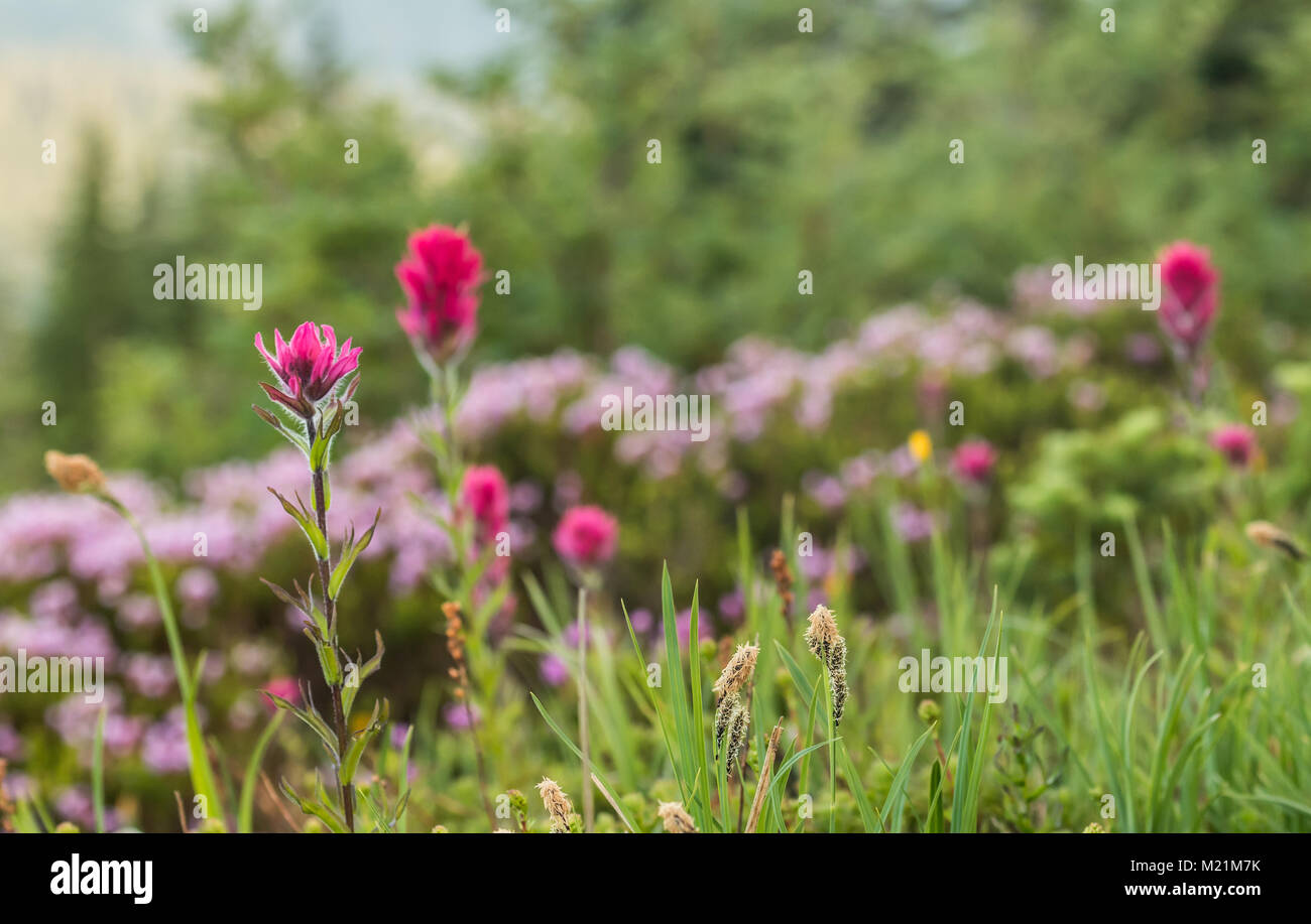 Scarlet Paintbrush Flowers in Alpine Field in Summer - Stock Image