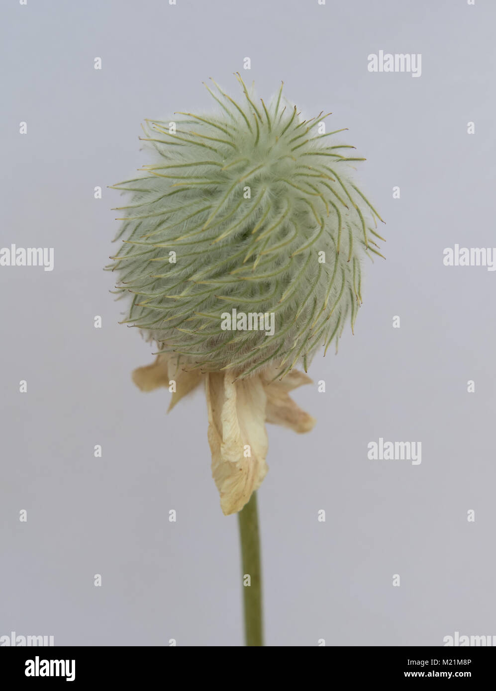 Seed Head of Anemone on Isolated White Background - Stock Image