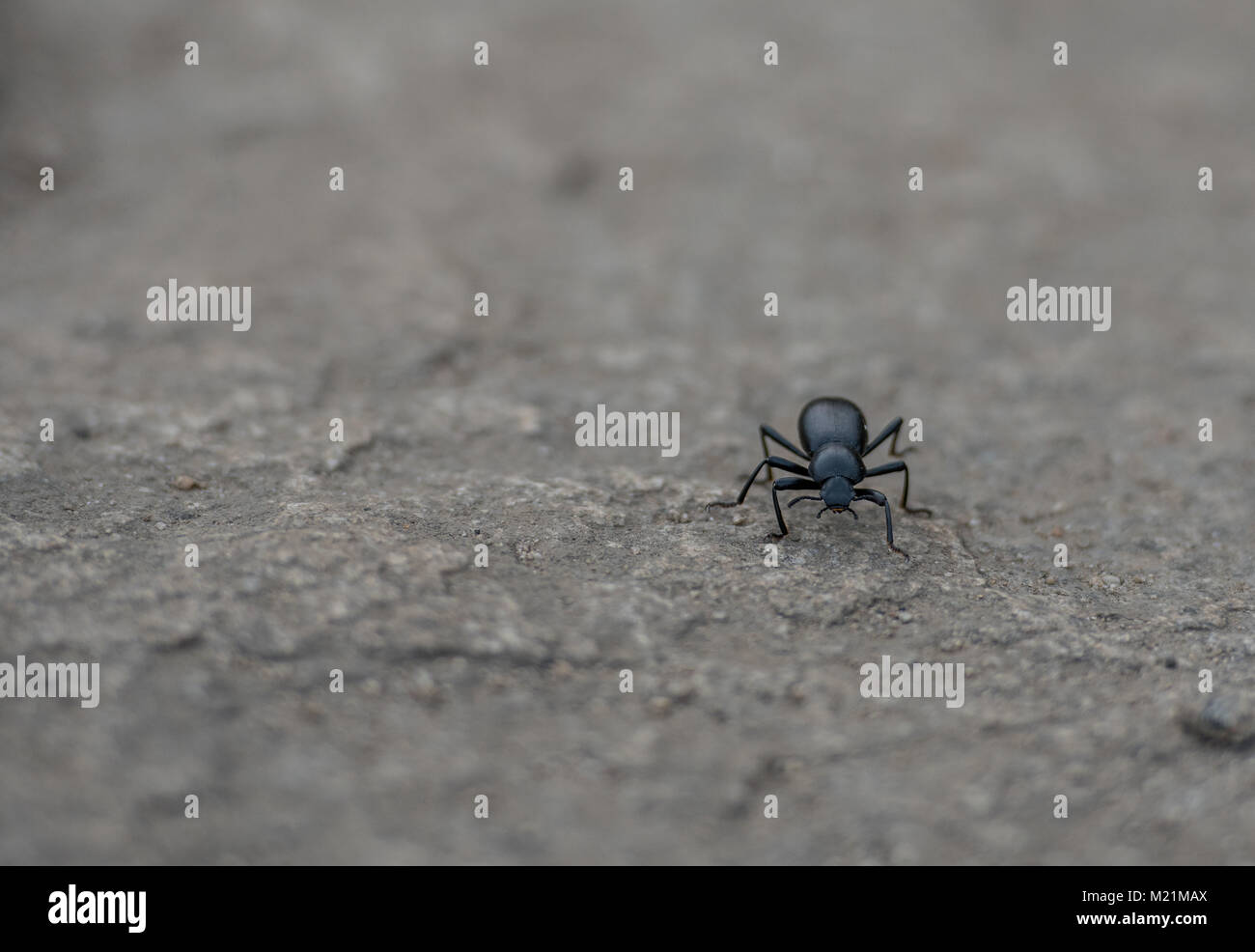 Small Black Insect Crawls on Sandy Ground - Stock Image