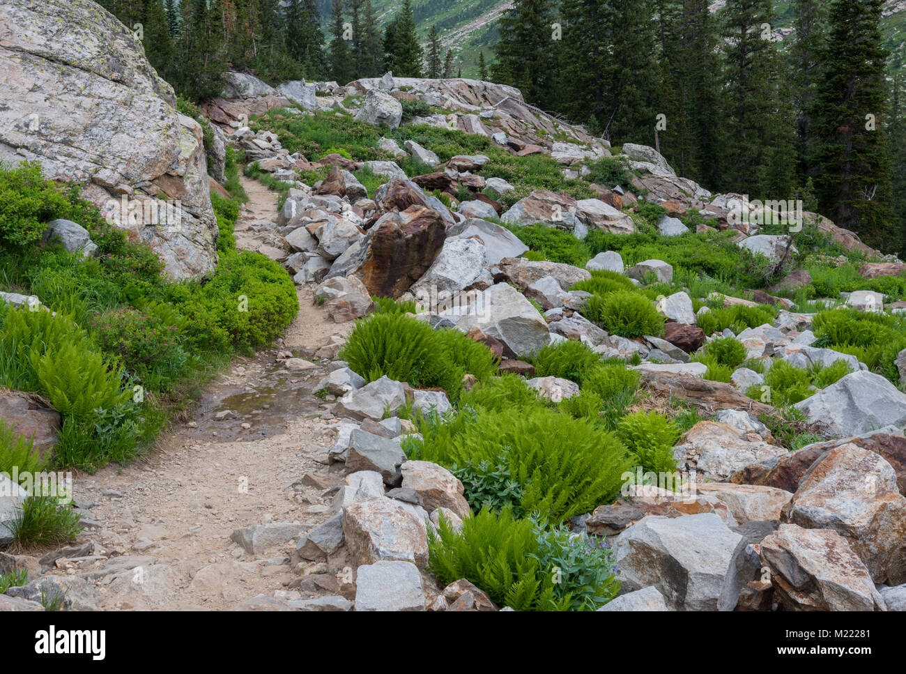 Trail Cuts Through Boulders and Bright Green Ferns in Wyoming wilderness - Stock Image