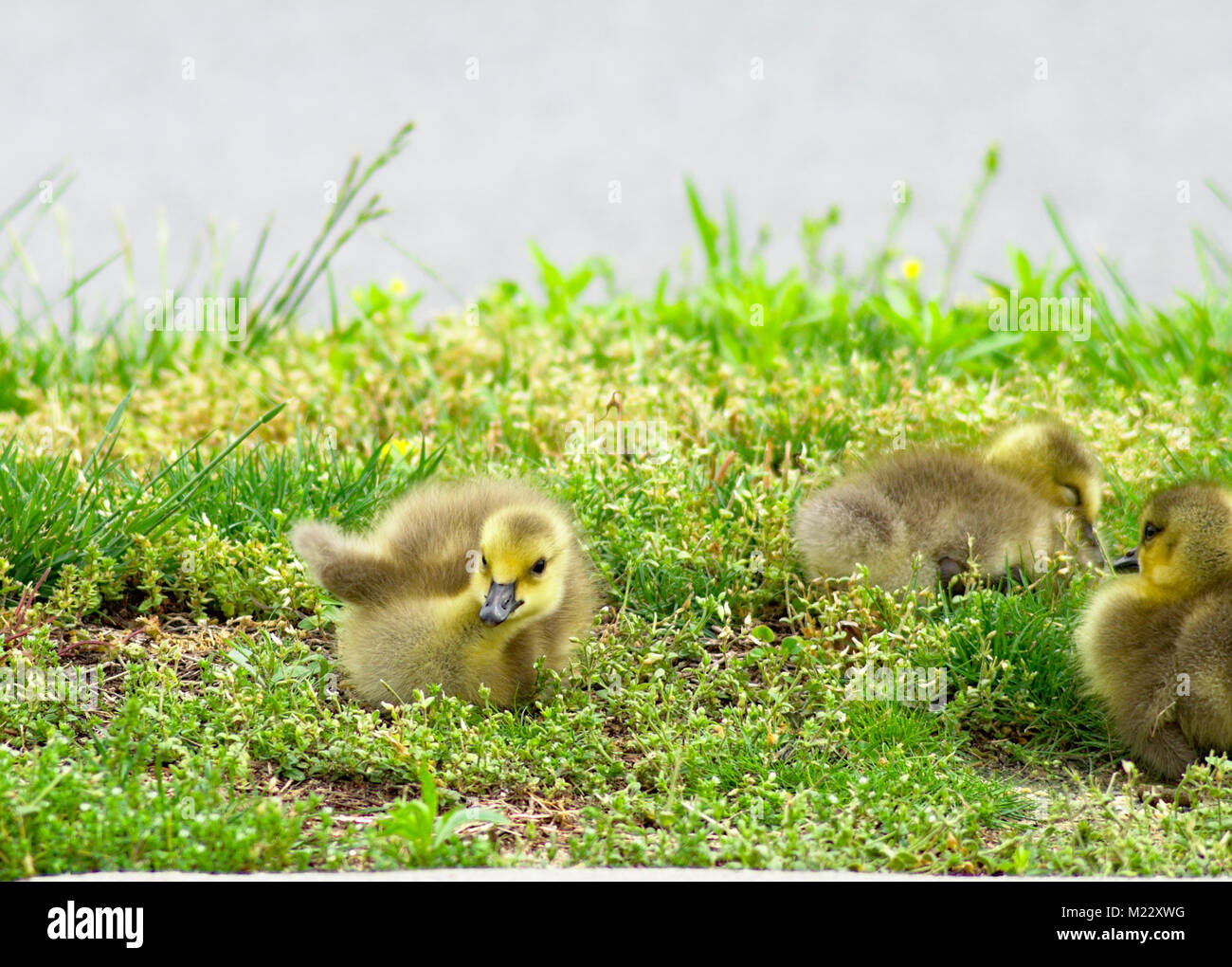 Baby Canadian Goose Food