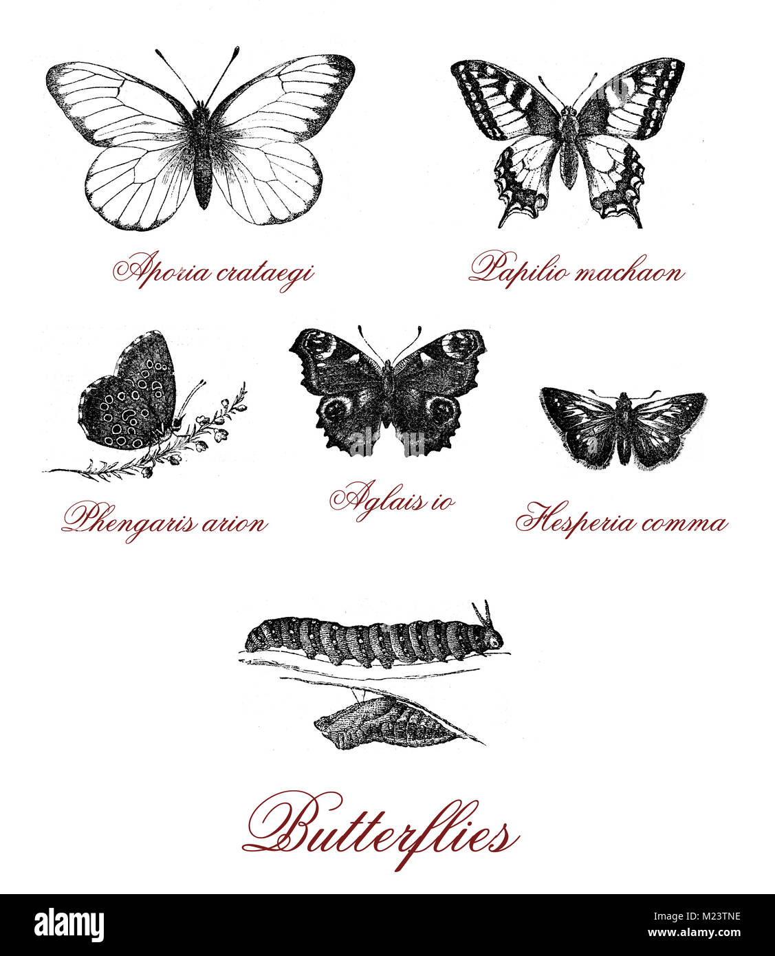 Different kind of butterfly and butterfly metamorphosis, vintage illustration - Stock Image
