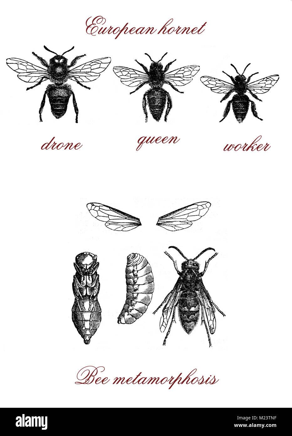 Bee, European hornet and bee metamorphosis, vintage engraving - Stock Image