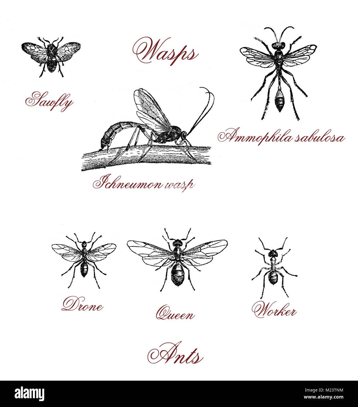 Ants and different kind of wasps, vintage illustration - Stock Image