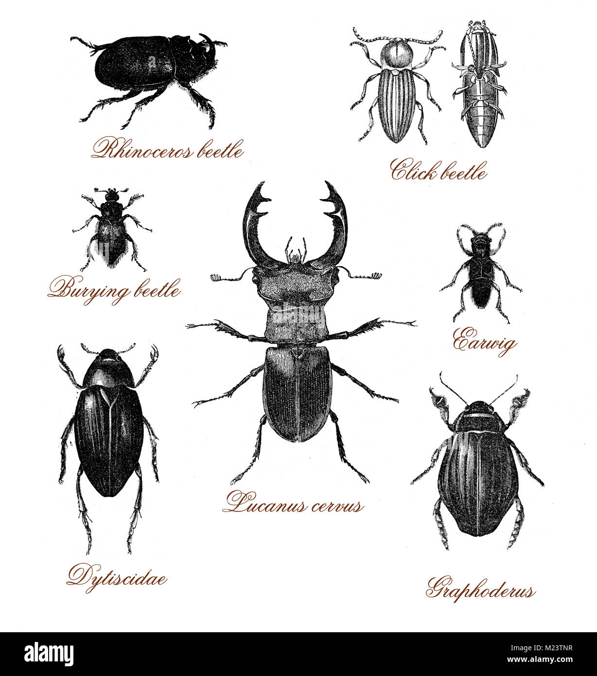 Vintage illustration table  with different kind of beetles - Stock Image