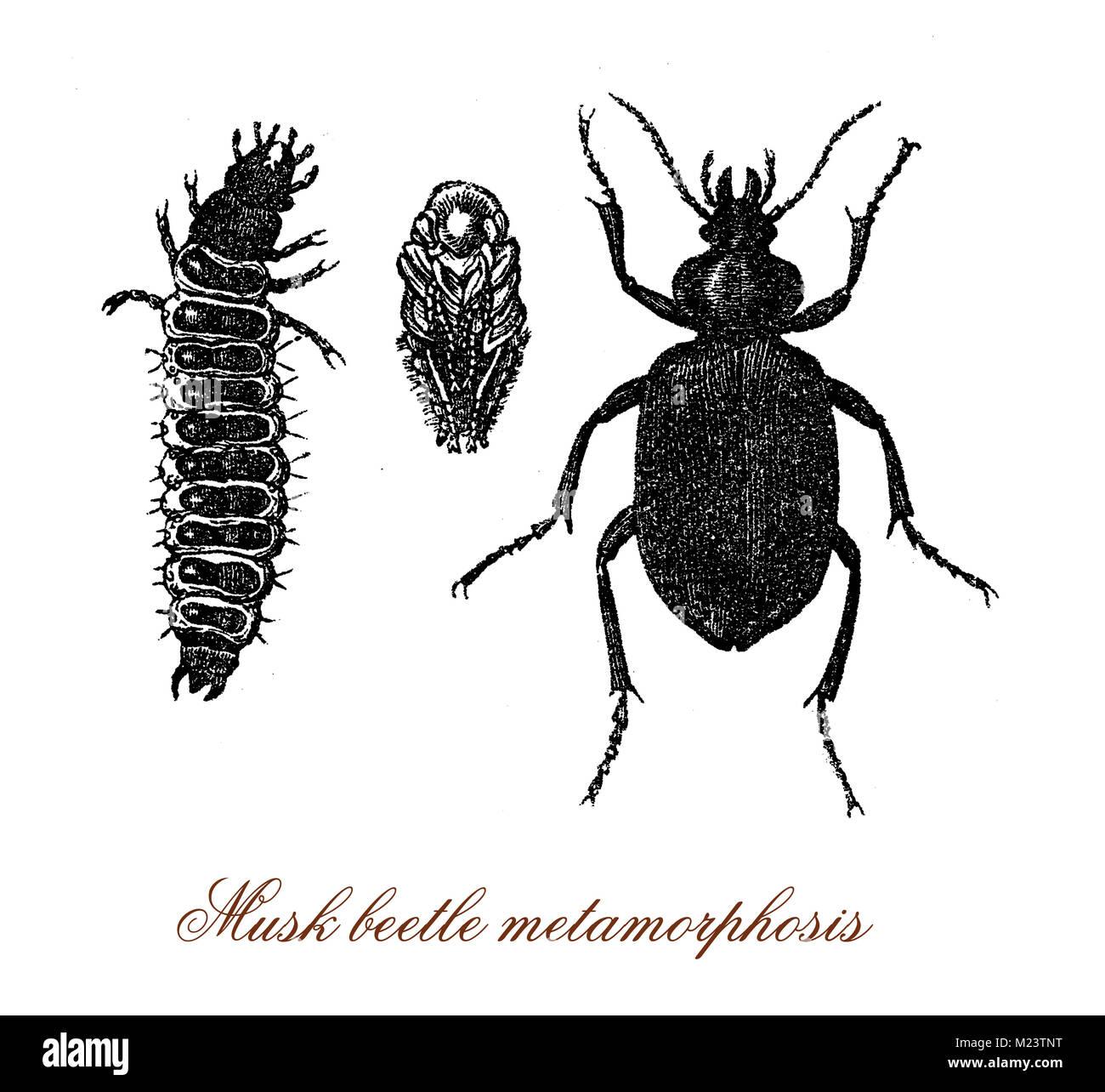 Musk beetle metamorphosis from larva to adult, vintage engraving - Stock Image