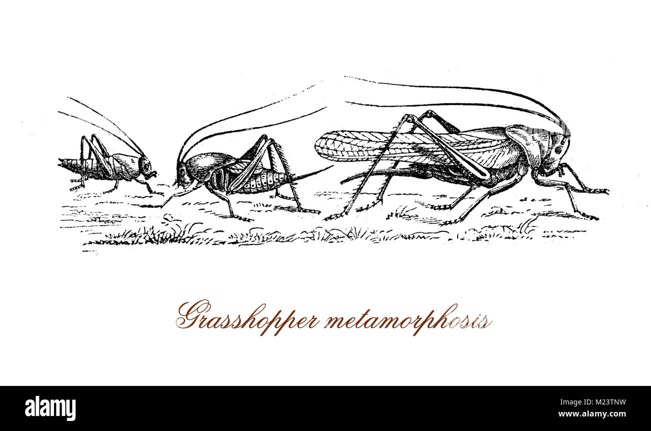 grasshopper metamorphosis from nymph to insect, vintage engraving - Stock Image