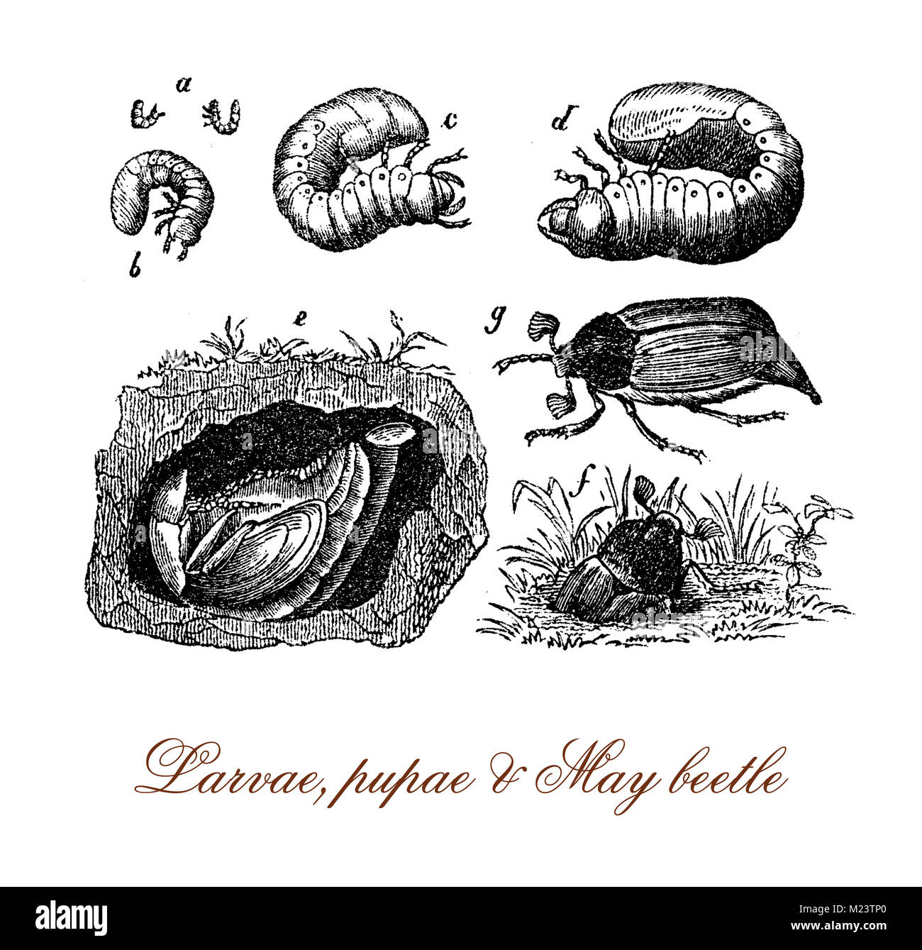 May beetle metamorphosis from larva, pupa to insect, vintage engraving - Stock Image