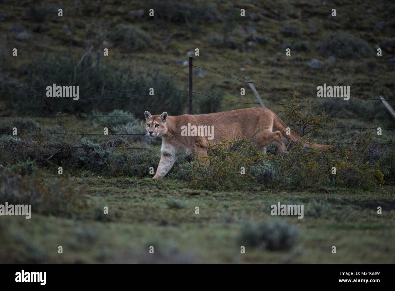A Puma from Torres del Paine National Park, Chile - Stock Image