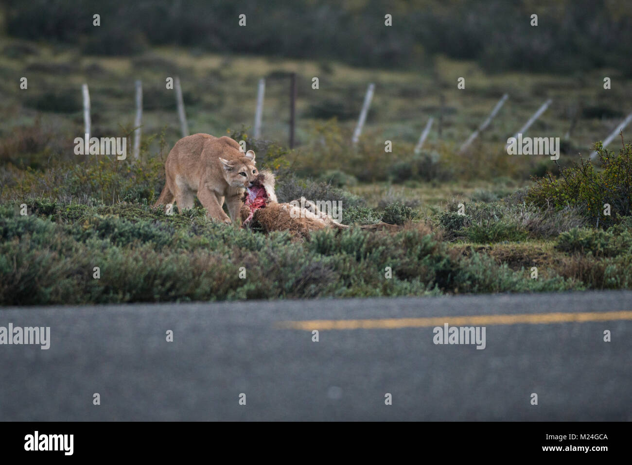 A Puma dragging a Guanaco it killed right at roadside near Torres del Paine National Park, Chile - Stock Image