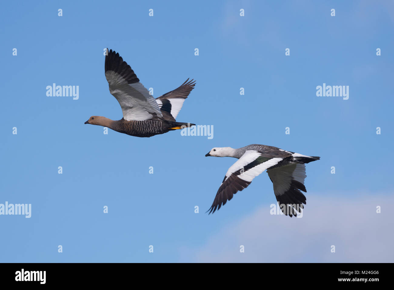 A pair of Upland Goose in flight - Stock Image