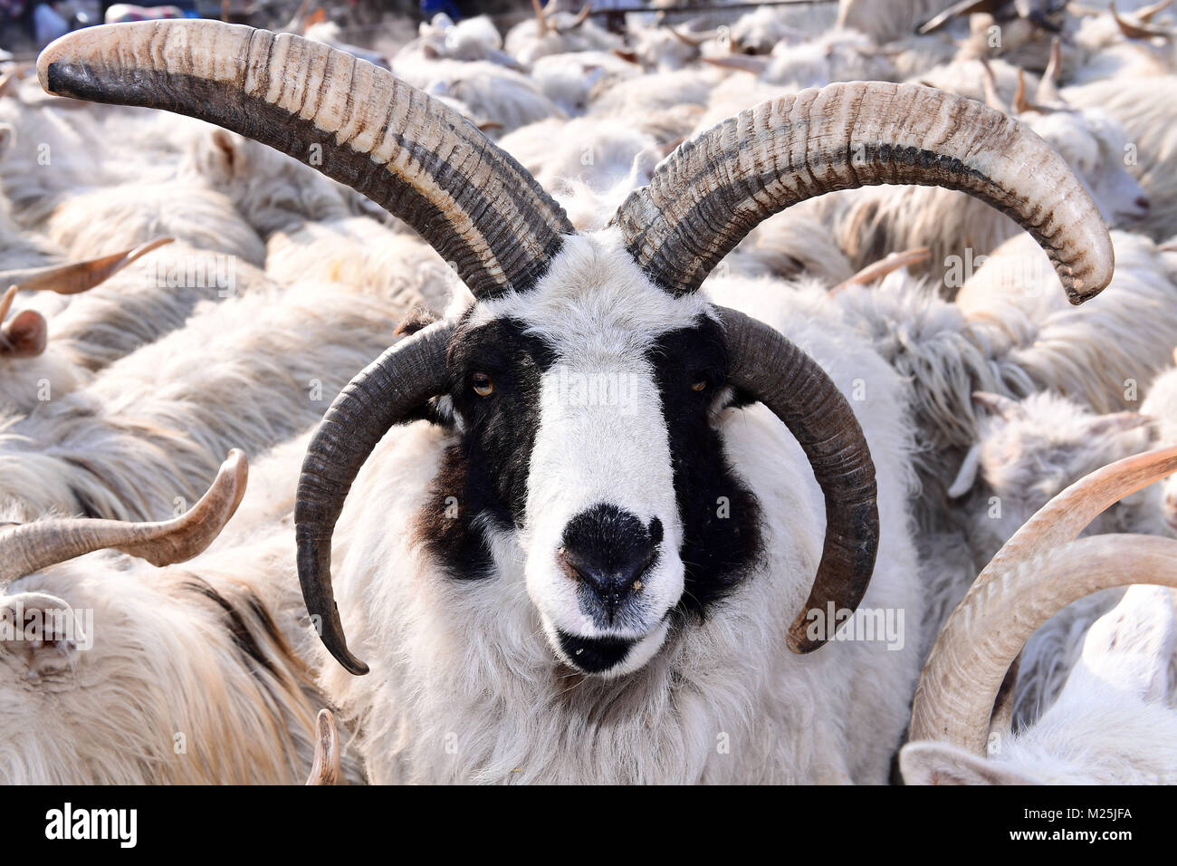 Shenyang, Shenyang, China. 5th Feb, 2018. Shenyang, CHINA-5th February 2018: A goat with four horns can be seen - Stock Image