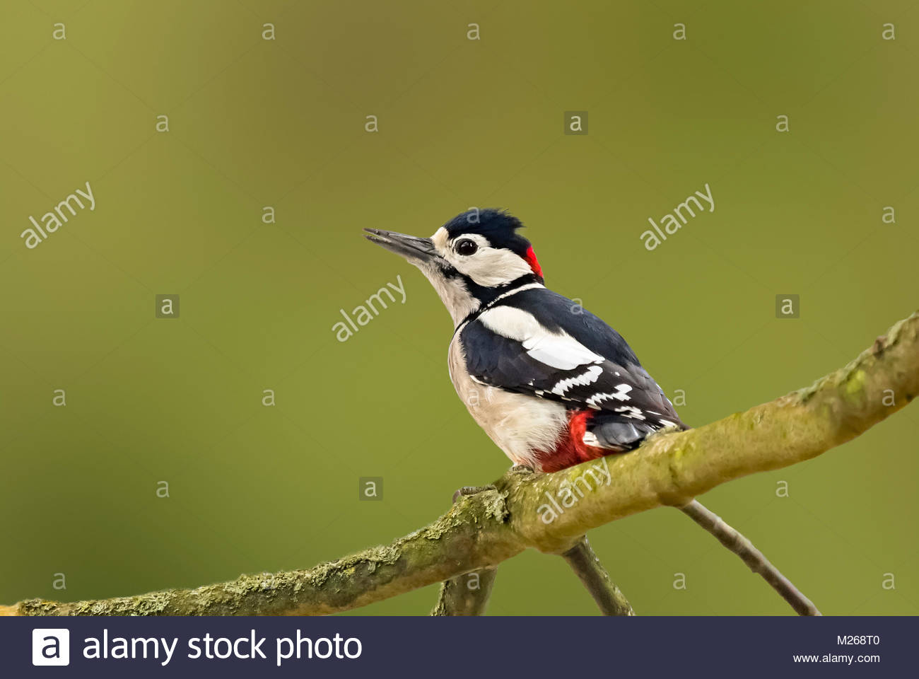 male-great-spotted-woodpecker-dendrocopos-major-perched-on-a-tree-M268T0.jpg