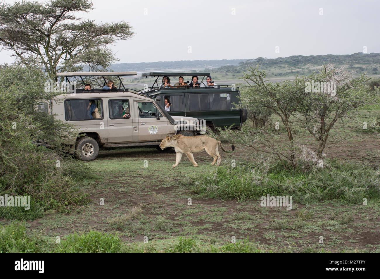 Female lioness in the Serengeti walking near safari SUV vehicles - Stock Image