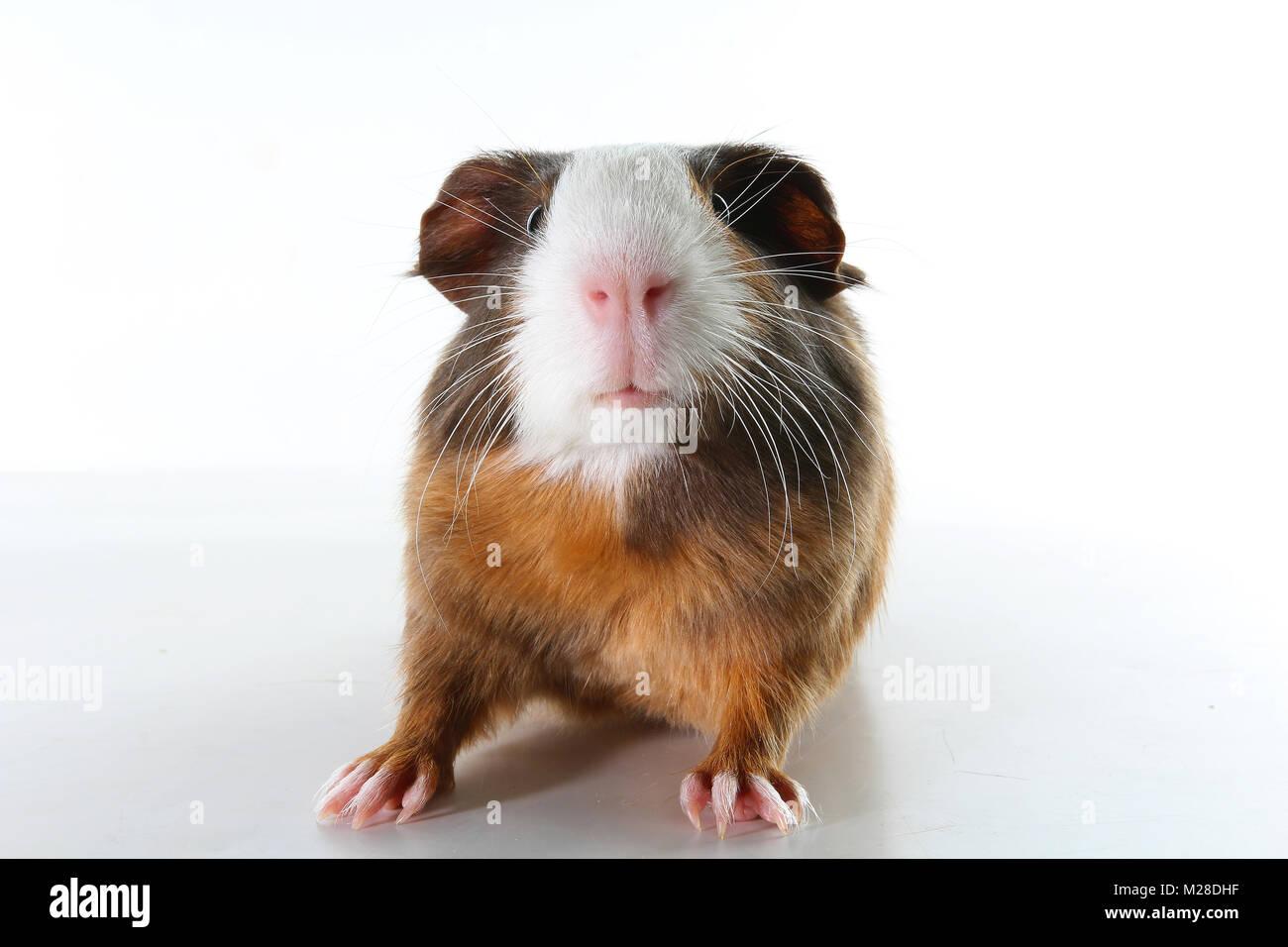 Guinea Pig Cut Out Stock Photos Amp Guinea Pig Cut Out Stock
