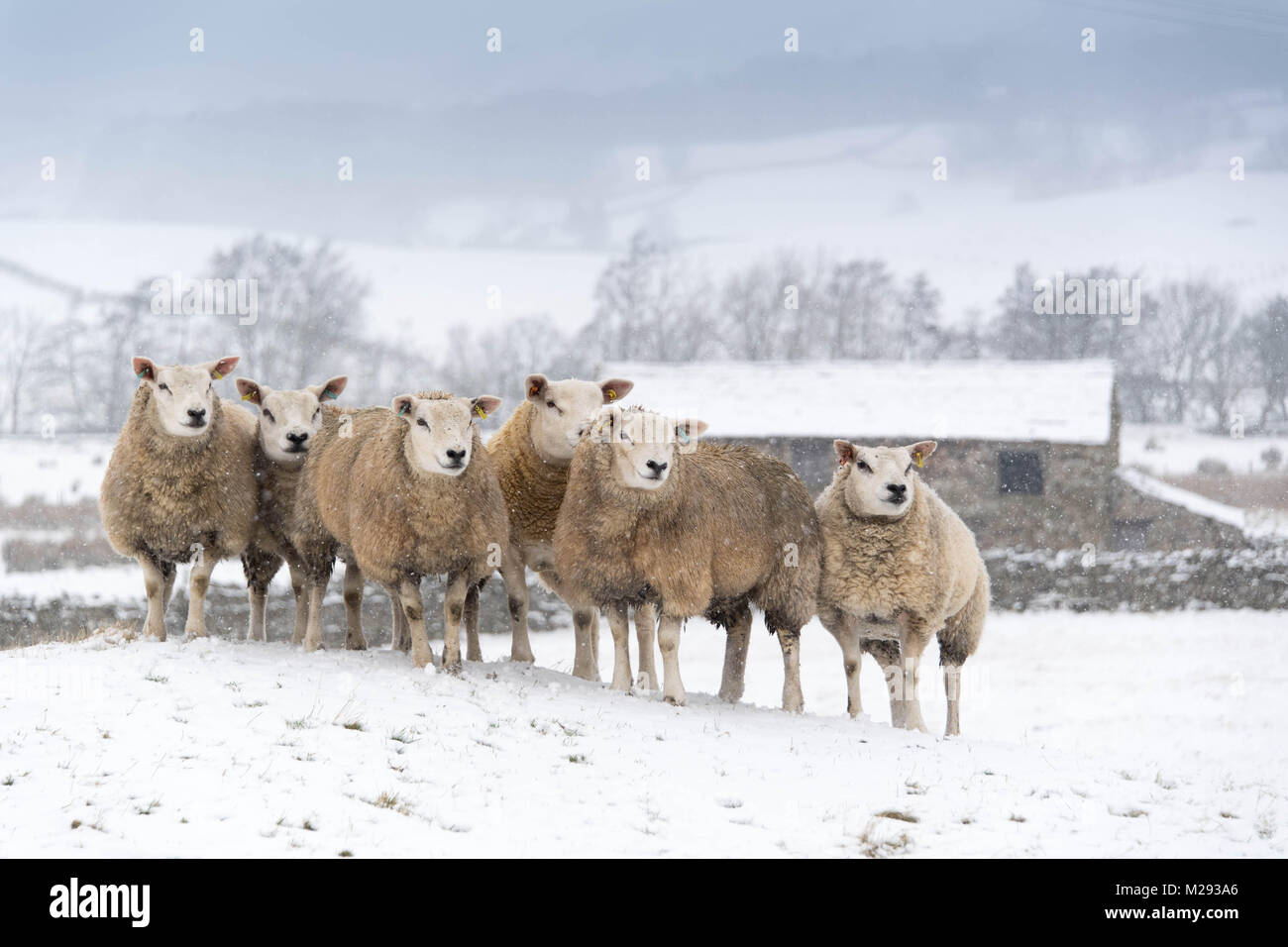 Hawes, UK. 6th February, 2018. Sheep waiting in the snow for feed, near Hawes, upper Wensleydale  in the Yorkshire - Stock Image