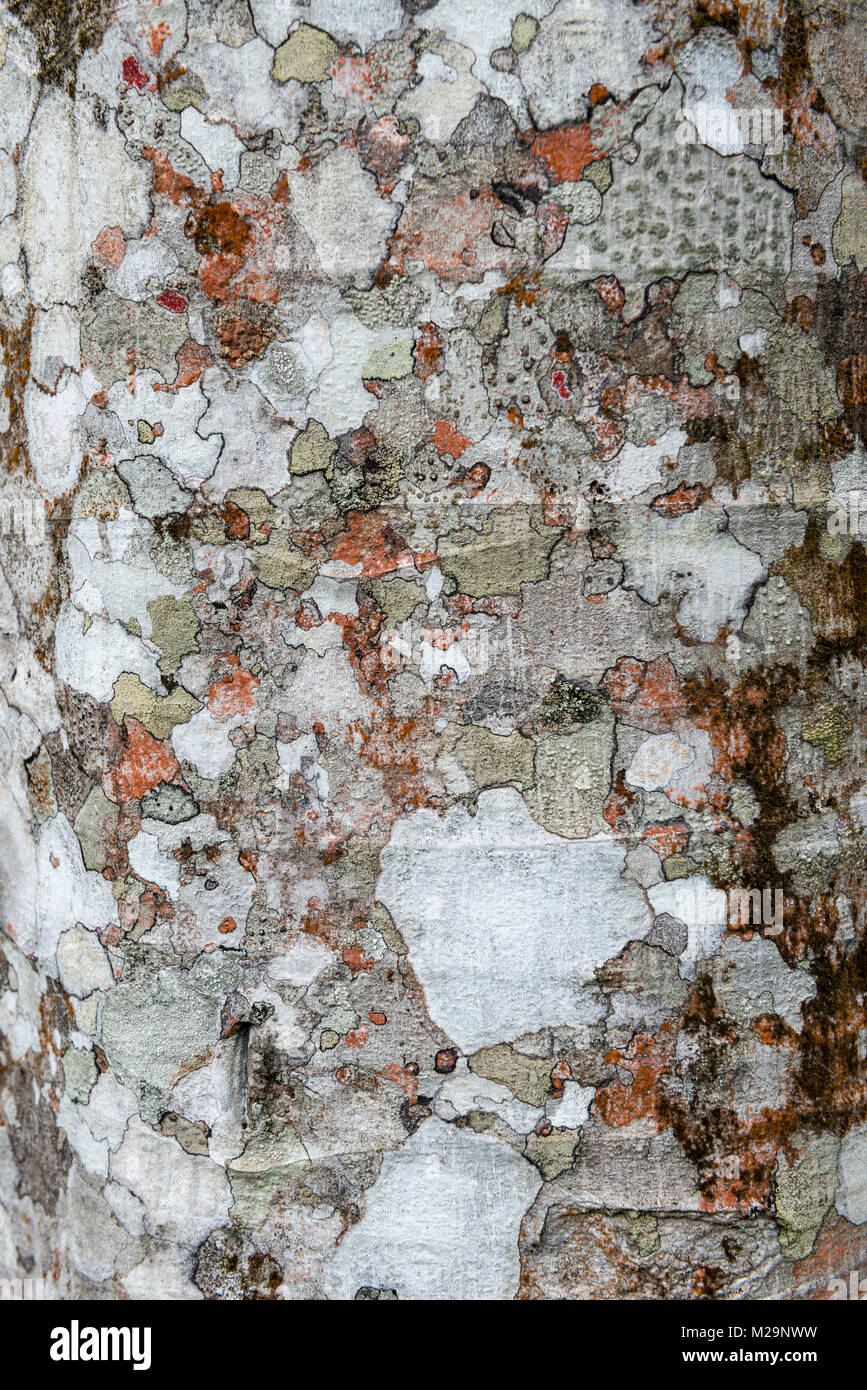 Cecropia tree trunk with lichen growth - Stock Image