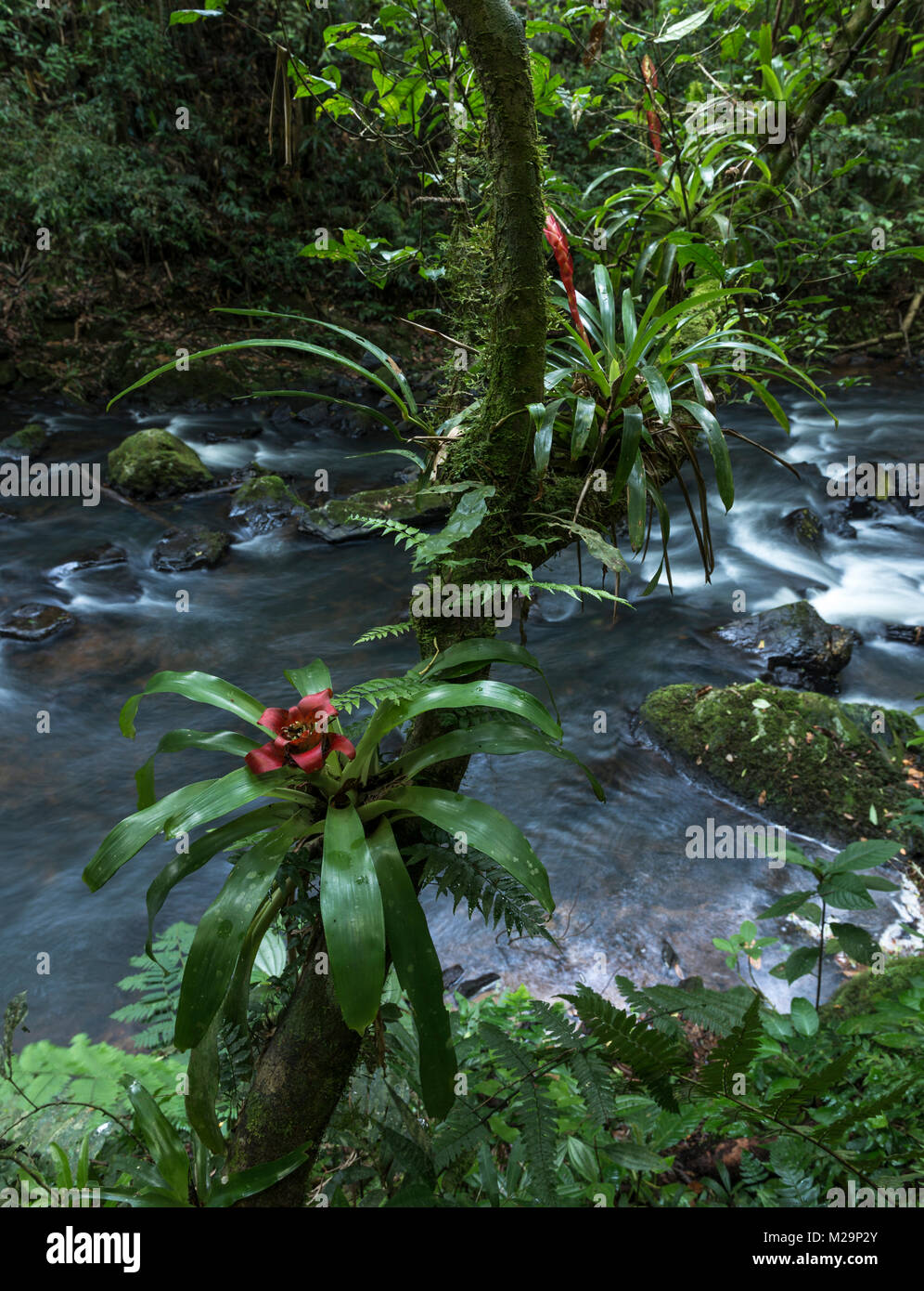 Bromeliads in the Atlantic Rainforest - Stock Image
