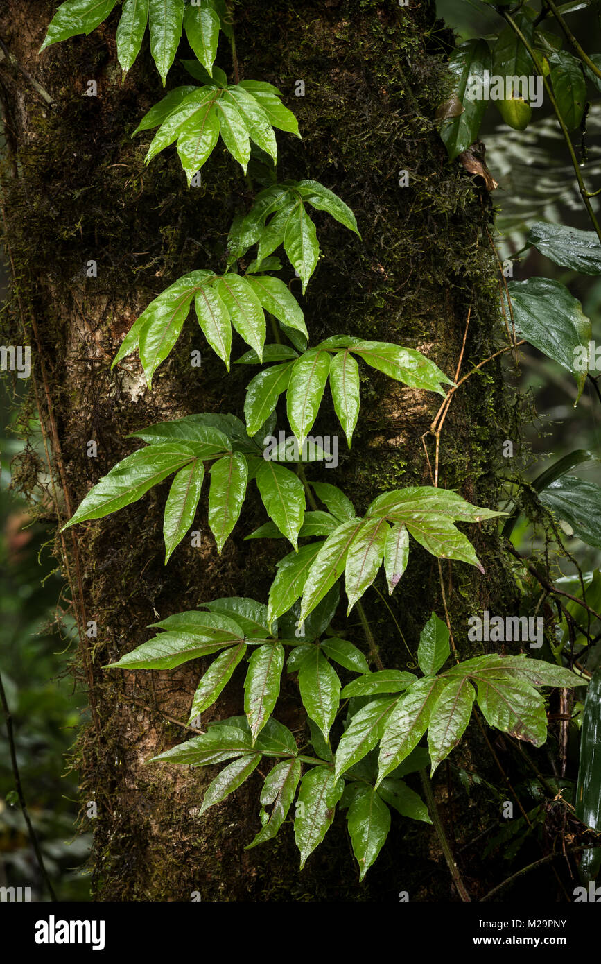 A climbing liana from the Atlantic Rainforest - Stock Image