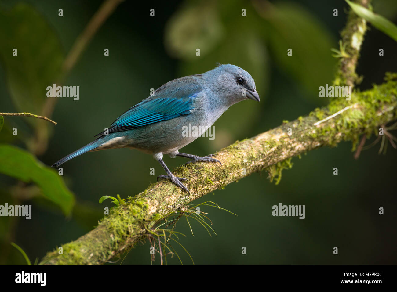 An Azure-shouldered Tanager (Thraupis cyanoptera) from the Atlantic Rainforest - Stock Image