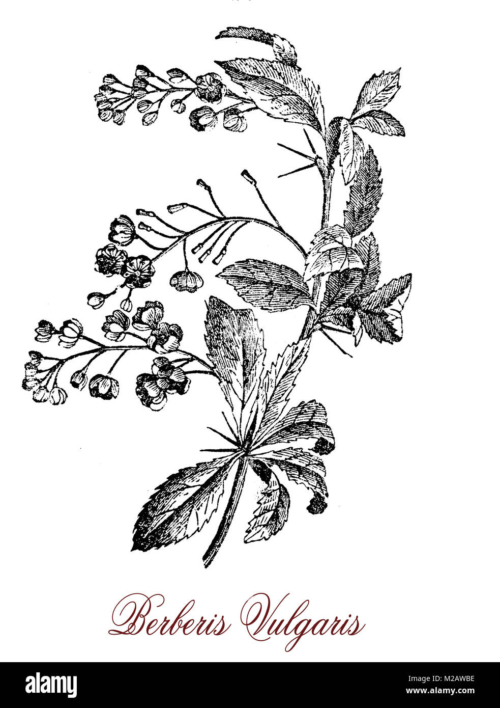 Vintage engraving of Berberis vulgaris or barberry, shrub cultivated as fruit for the red berries rich in vitamin - Stock Image