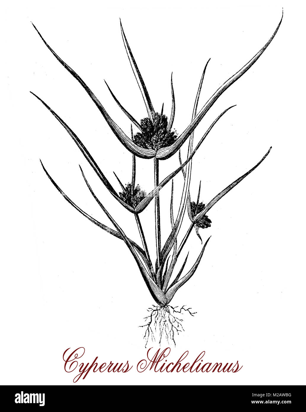 Vintage engraving of cyperus michelianus, plant of the Cyperaceae family which grows on river shores and at the - Stock Image