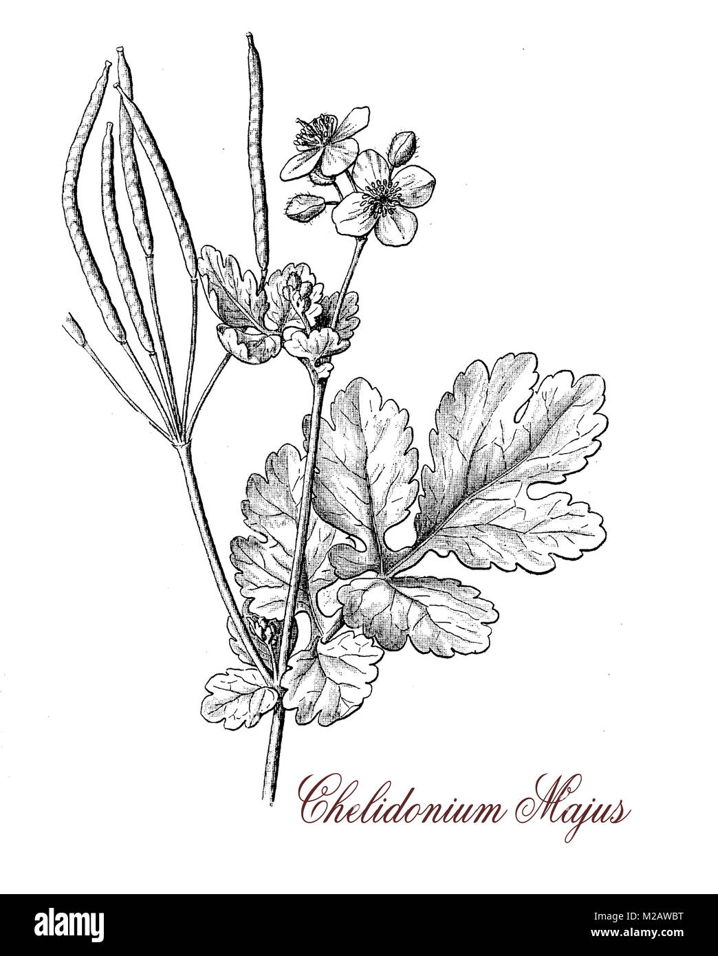 vintage engraving of chelidonium of the buttercup family,herbaceous plant with yellow flowers; it grows in temperate - Stock Image