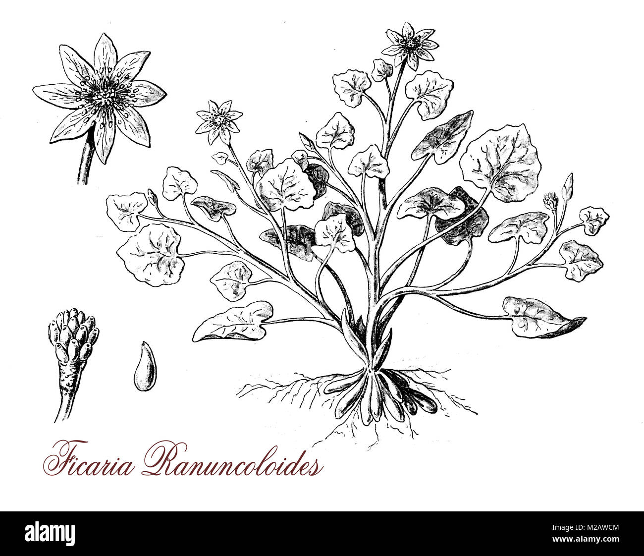 vintage engraving of ficaria ranuncoloides, flowering plant with jellow glossy flowers, poisonous, deadly if ingested - Stock Image
