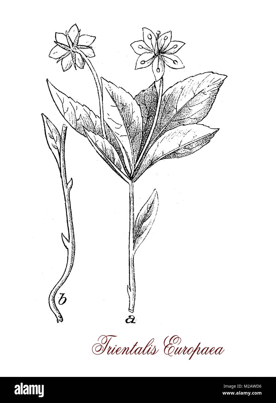 vintage engraving of trientalis europaea,flowering plant of the Primulaceae family with beautiful white flowers. - Stock Image