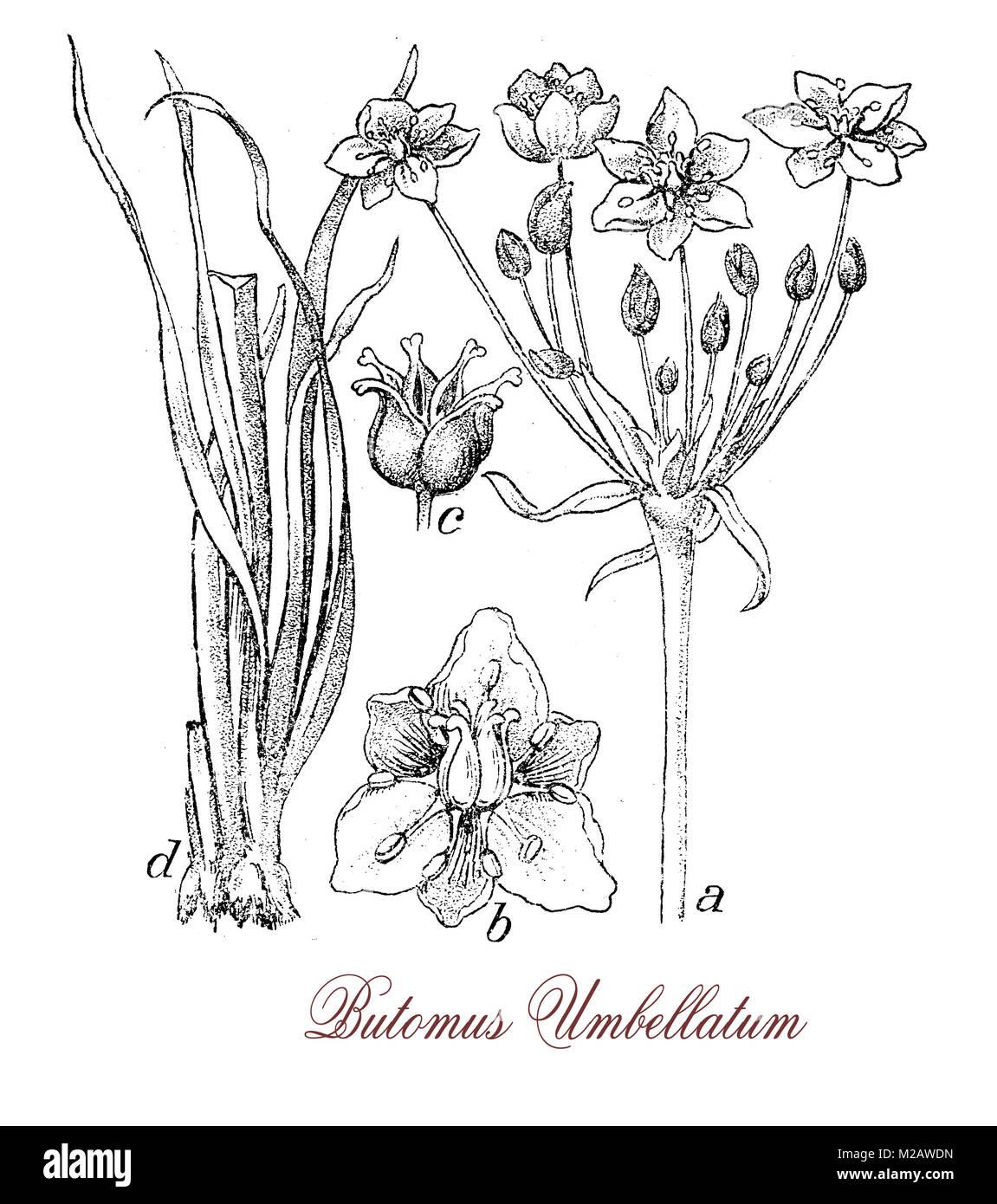 vintage engraving of butomus umbellatum, flowering aquatic plant, it grows near still waters and lakes, has swordlike - Stock Image