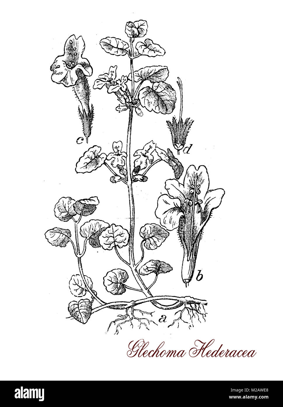Vintage engraving of Glechoma ederacea, aromatic plant used as medicinal, salad green and as garden decoration - Stock Image