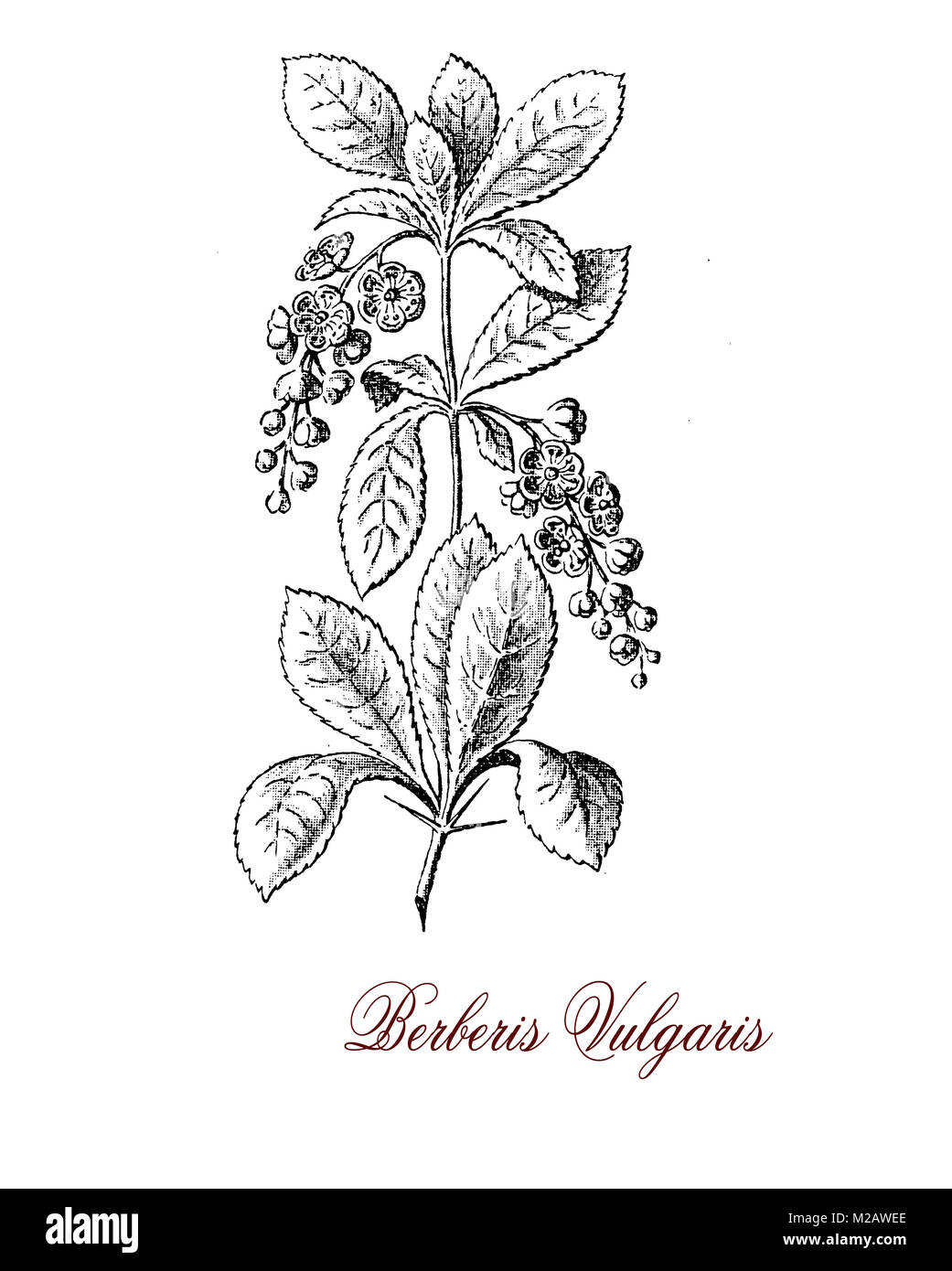 Vintage engraving of Berberis vulgaris or common barberry, shrub cultivated as fruit for the red berries rich in - Stock Image