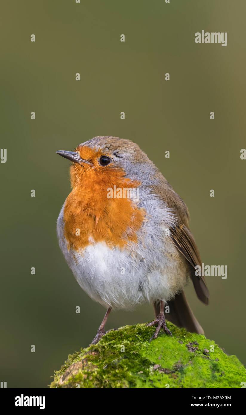 adult-european-robin-erithacus-rubecula-or-robin-redbreast-perched-M2AXRM.jpg
