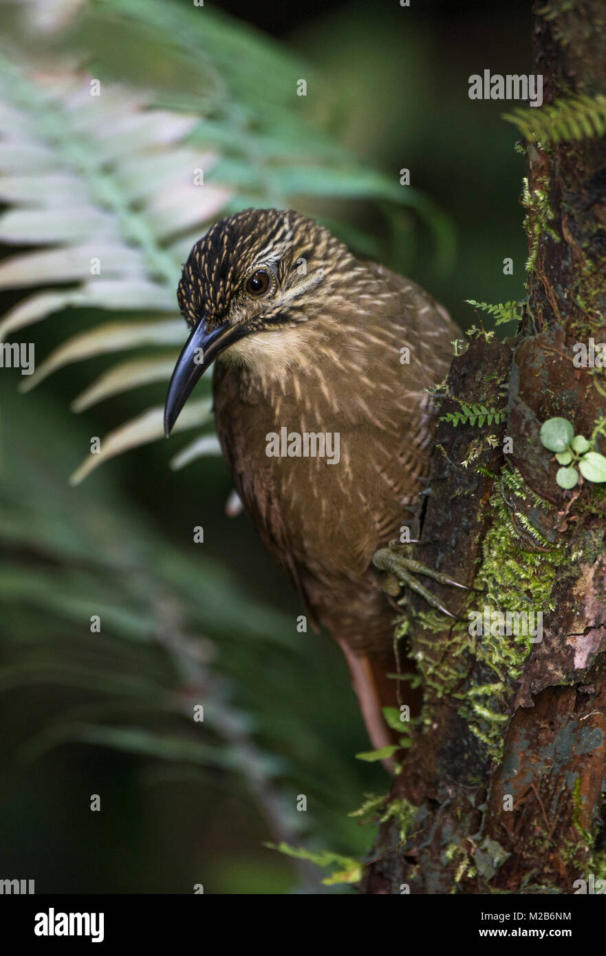 White-throated Woodcreeper (Xiphocolaptes albicollis) from the Atlantic Rainforest - Stock Image