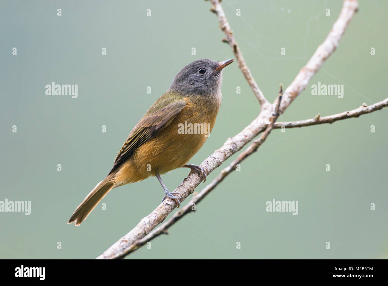Gray-hooded Flycatcher (Mionectes rufiventris) from the Atlantic Rainforest - Stock Image