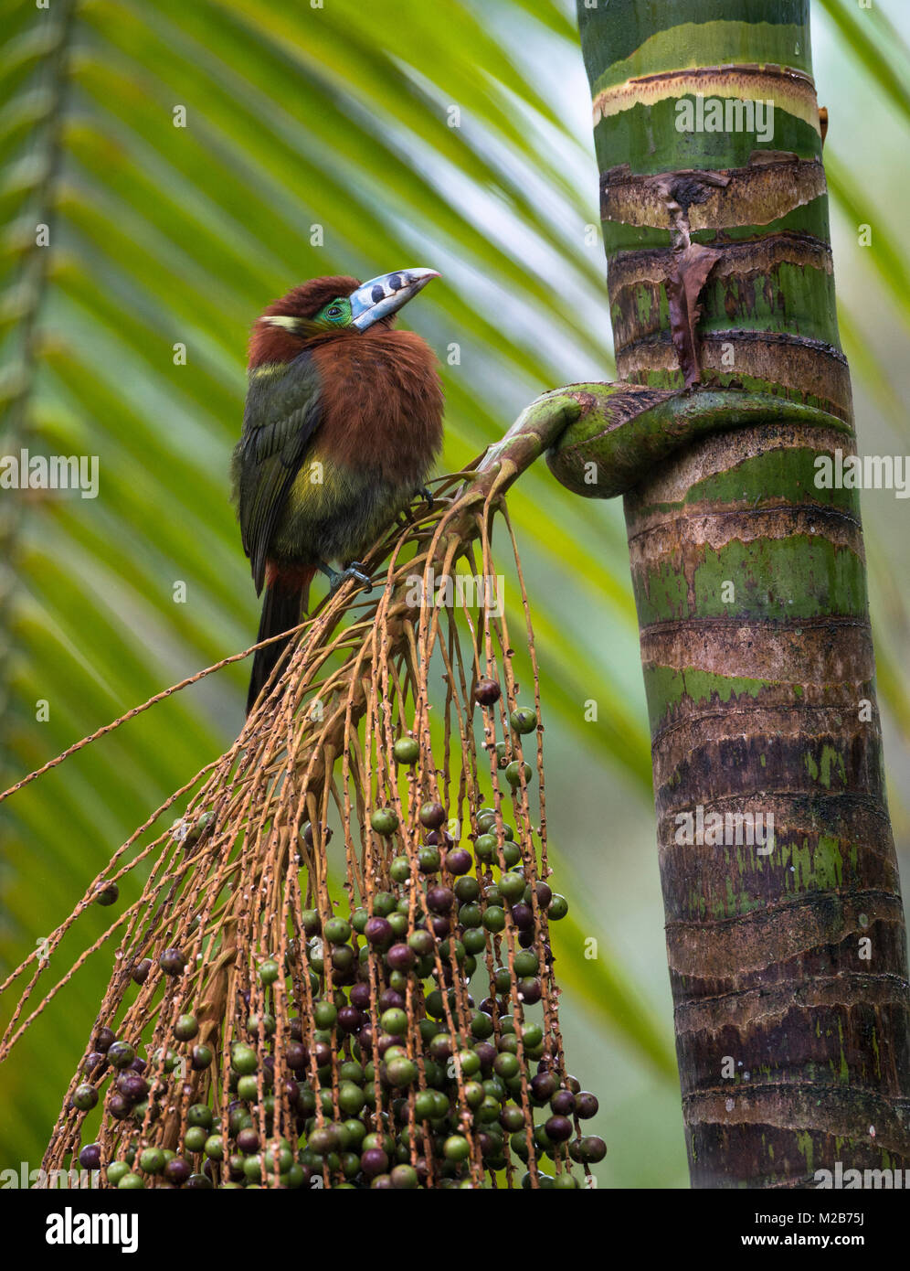 A Spot-billed Toucanet (Selenidera maculirostris) on a Palmito tree in the Atlantic Rainforest - Stock Image