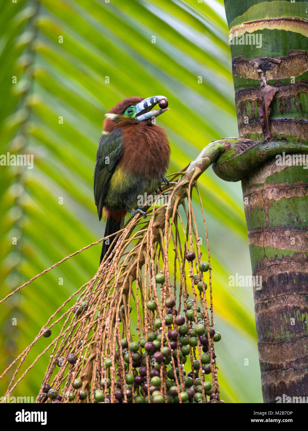 A Spot-billed Toucanet feeding on a Palmito tree in the Atlantic Rainforest - Stock Image