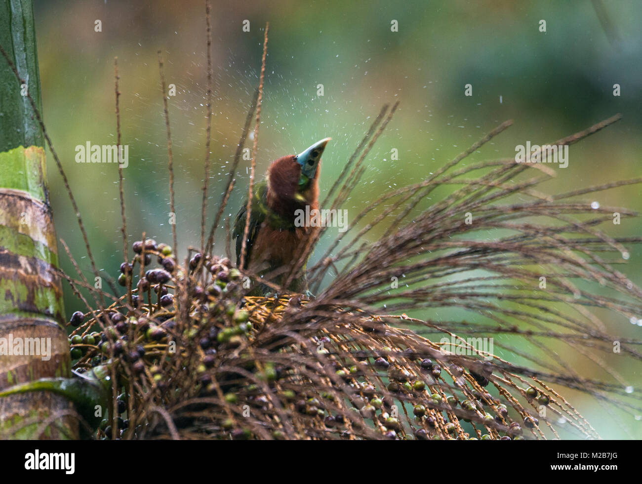 A Spot-billed Toucanet sheds off water in the Atlantic Rainforest - Stock Image
