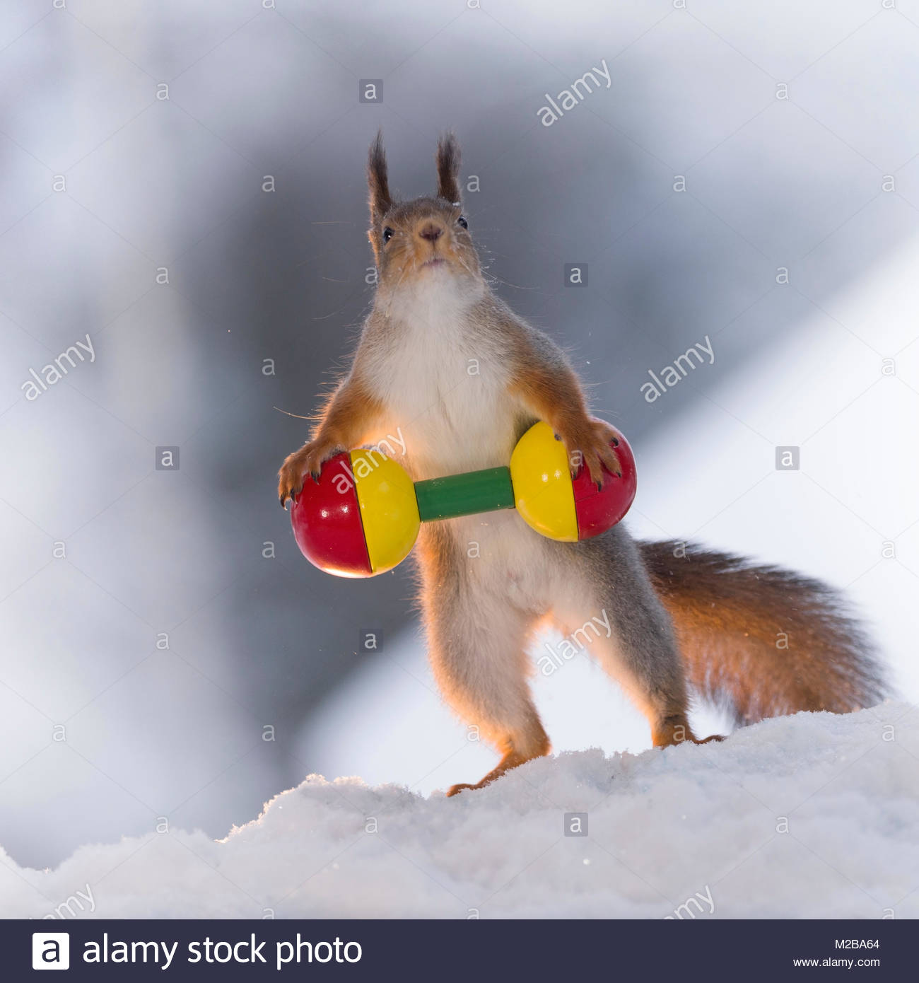 red squirrel in the snow is weightlifting - Stock Image