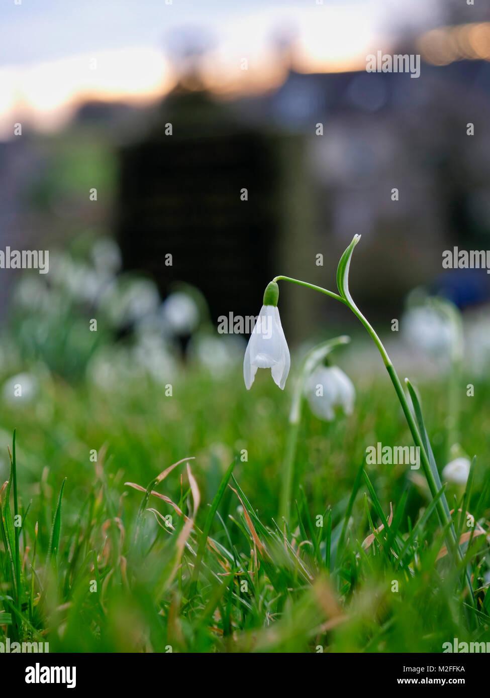 Tissington Village, Derbyshire. 7th Feb, 2018. UK Weather: Snowdrop flower in Tissington Village, Peak District - Stock Image