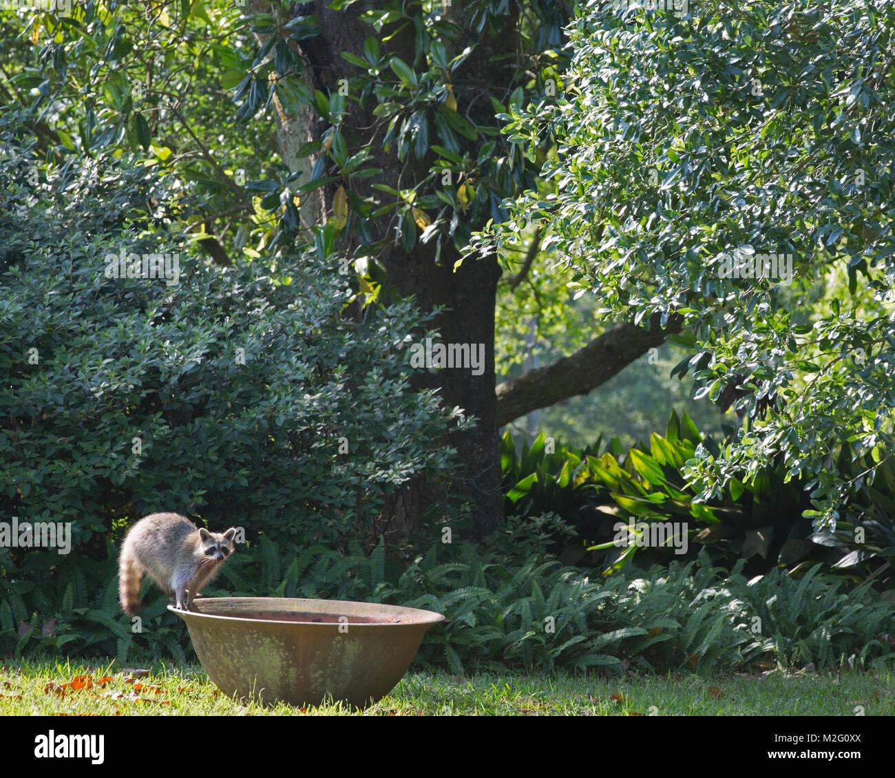 Raccoon (Procyon lotor) in Rip Van Winkle Gardens on Jefferson Island - Stock Image