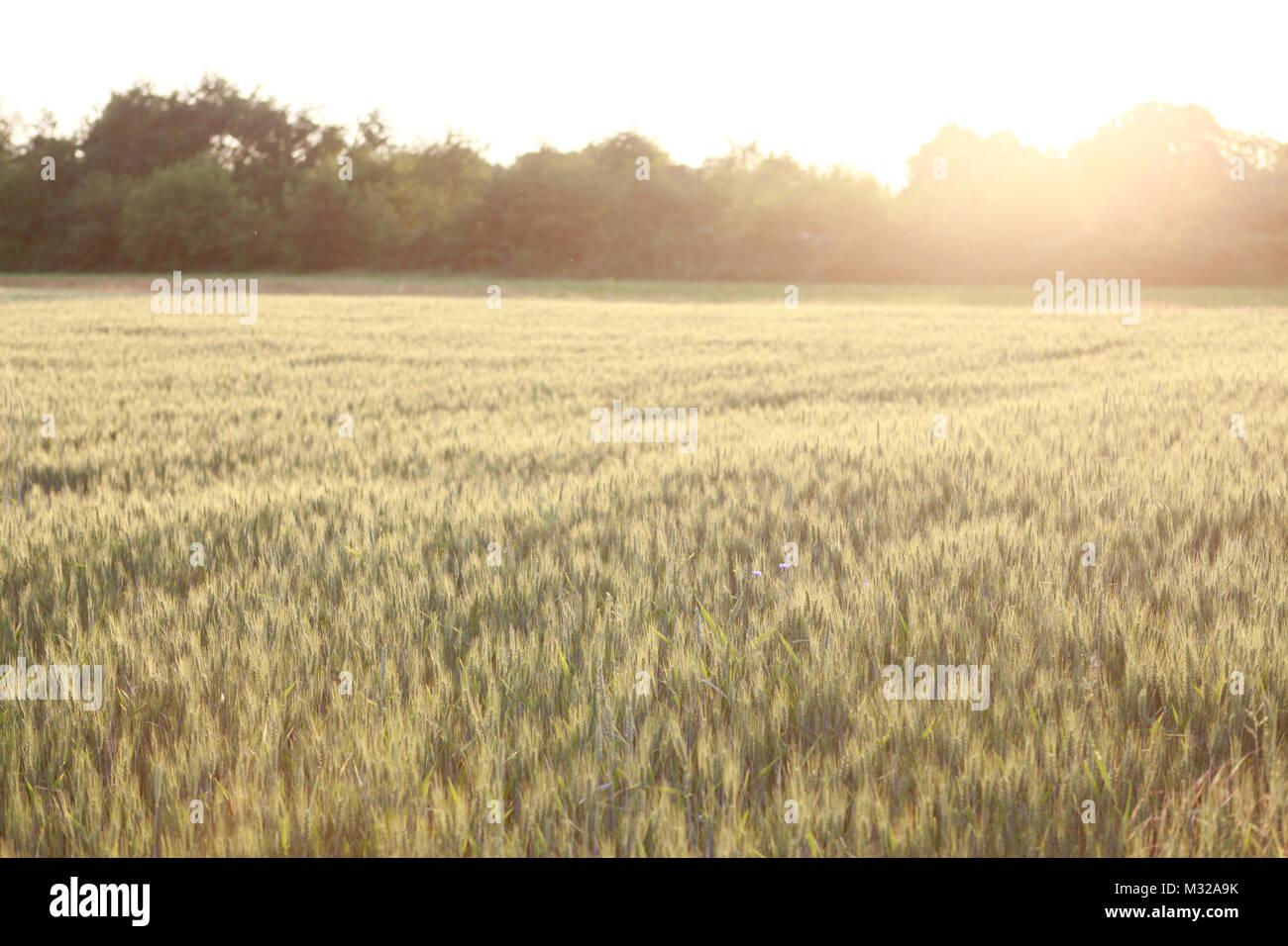 Wheat field - Stock Image