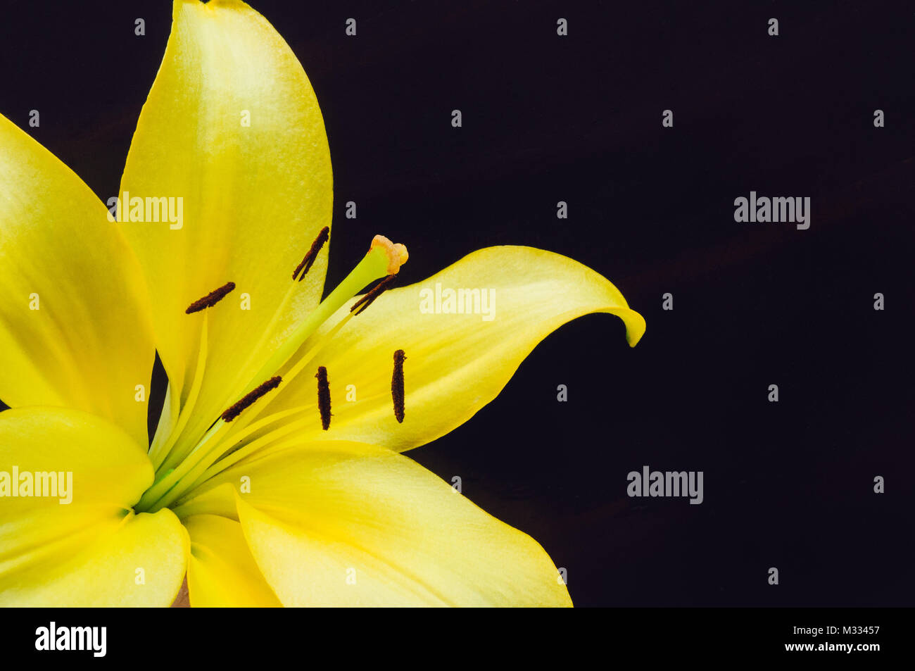 Single Yellow Lily Flower on Dark Backround - Stock Image