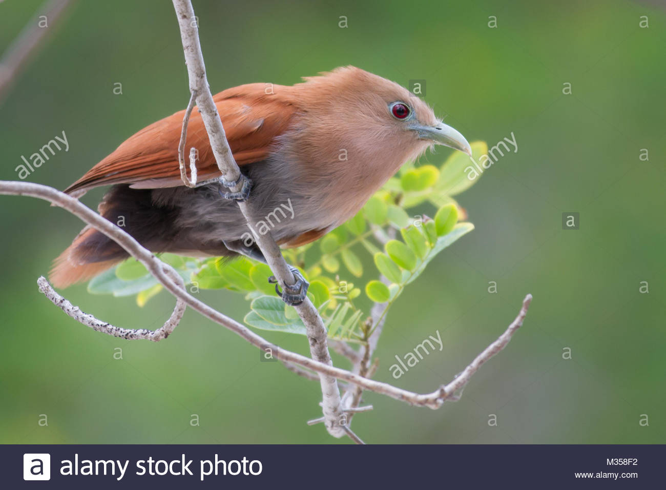 Tailless Squirrell Cuckoo - Stock Image