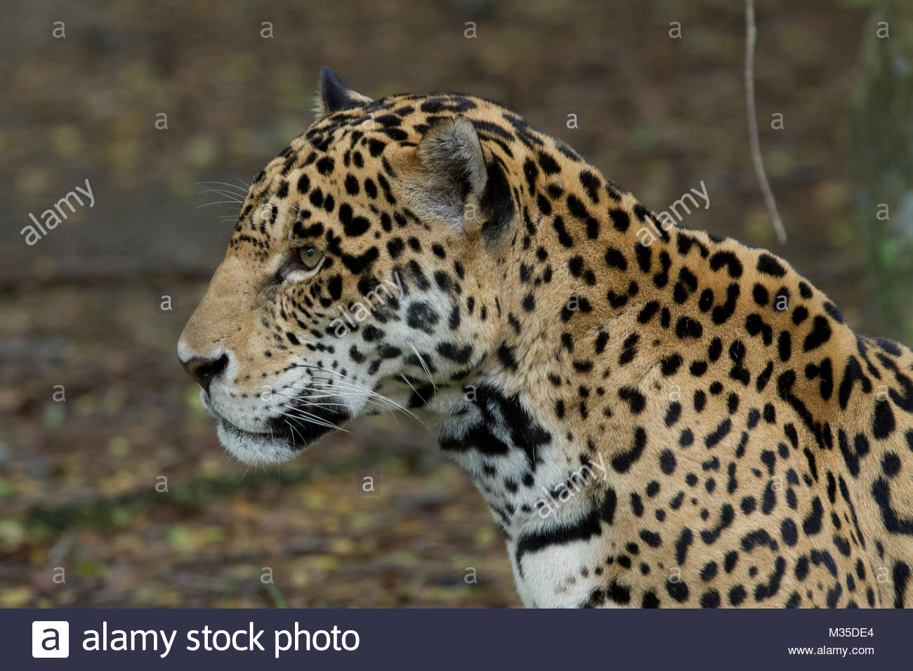 Leopard on the lookout - Stock Image