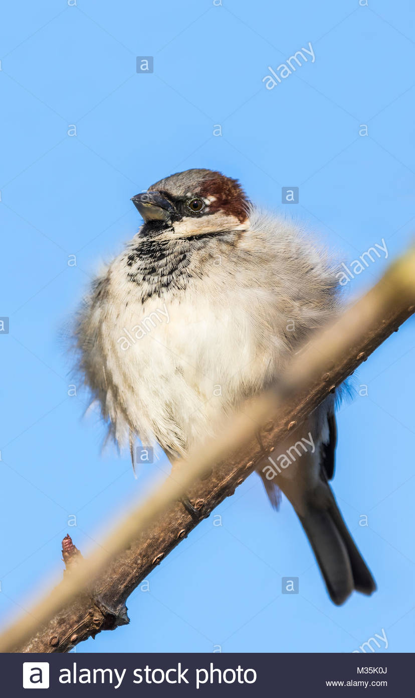 house-sparrow-passer-domesticus-perched-on-a-twig-in-winter-in-england-M35K0J.jpg