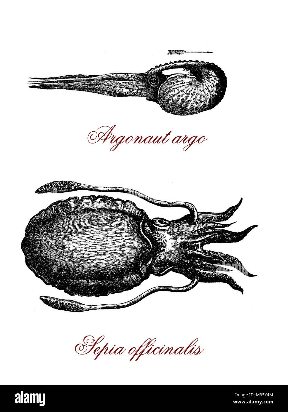 Vintage illustration of common cuttlefish and tropical argonauta argo octopus - Stock Image