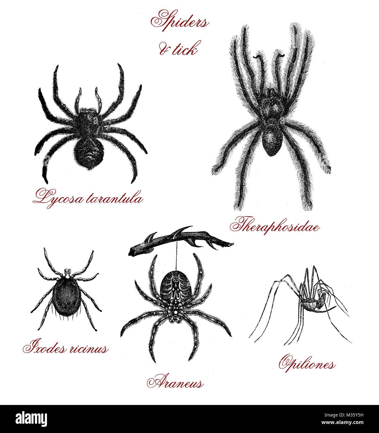 Vintage illustration, table with different kind of spiders: tarantua,tick, - Stock Image