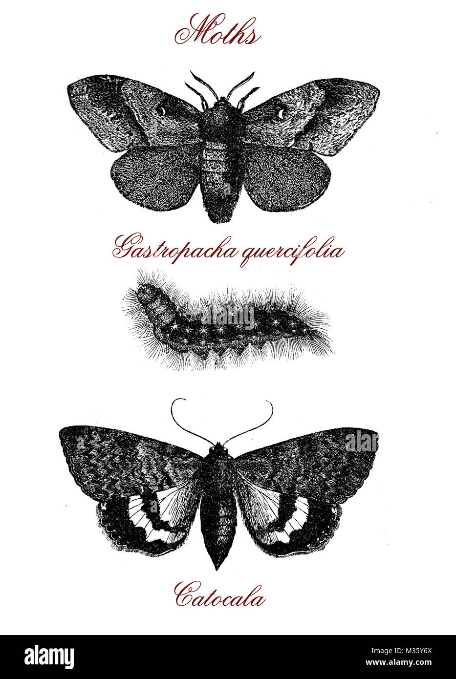 Moths: gastropacha quercifolia and catocala, vintage engraving - Stock Image