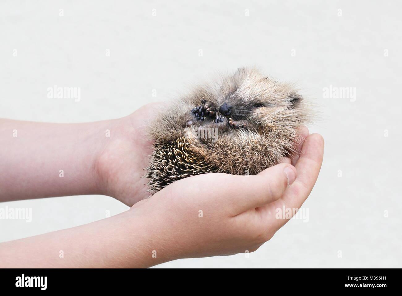 European hedgehog cub - Stock Image